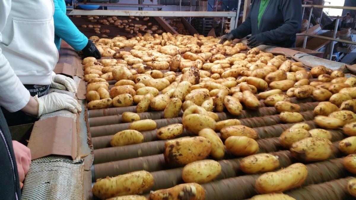 Παραγωγή κυπριακής πατάτας